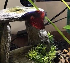 Messi our class betta fish